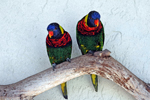Florida Lorikeets, stock photo